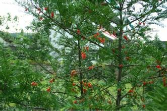 广东红豆杉价格厂家|广东如何种植红豆杉|广东红豆杉原木