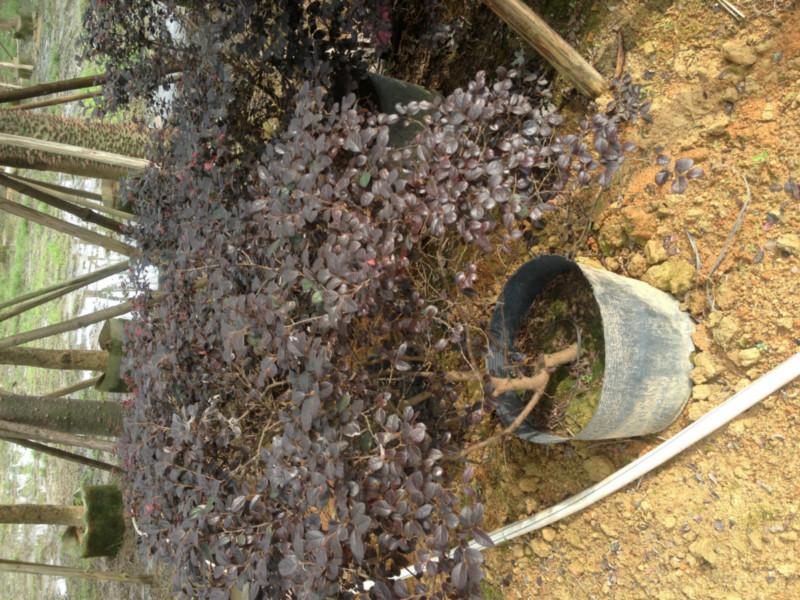 供应红花继木袋苗、红花继木100100哪里有卖、广东红继木报价。