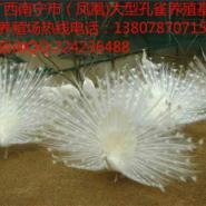 广西南宁市凤凰蓝白孔雀养殖场图片