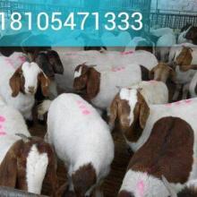 供应杜泊绵羊种羊杂交波尔山羊批发