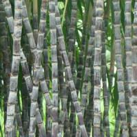 甘蔗专用除草剂