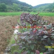 广西番石榴苗图片