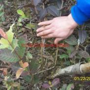 桂林番石榴苗图片