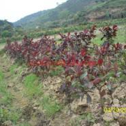 柳州番石榴苗图片