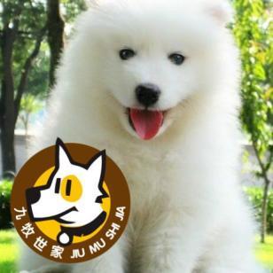 广州哪里有卖萨摩耶纯种健康的萨摩图片