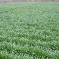 供应四川绿化草种花种一年生黑麦草种子