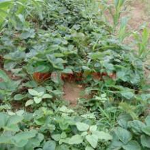 供应江苏草莓苗,红颜草莓苗价格,甜宝草莓苗价格,口感甜的草莓苗品种