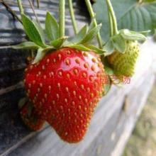 供应广西草莓苗