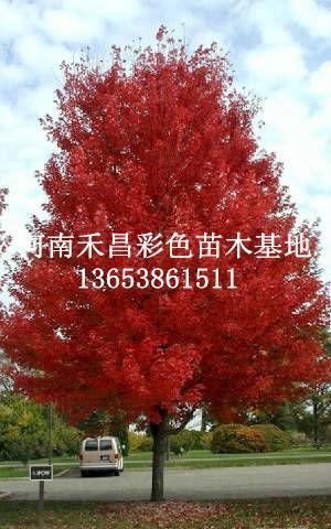 南通美国红枫生产厂家_济南美国红枫生产厂家_浙江美国红枫生产厂家