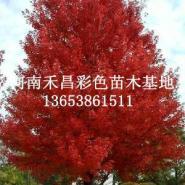 供应山西美国红枫多少钱_太原供应H20cm美国红枫