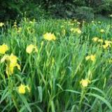 供应本溪种植鸢尾,睡莲荷花种植技术,芦苇香蒲种植方法,鸢尾种植与管理
