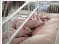 供应三元猪的成活率