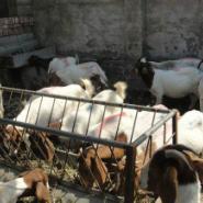 吉林波尔山羊利润图片