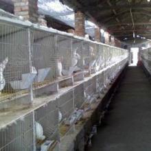 供应石家庄獭兔,獭兔的价格,獭兔毛皮价格