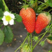 供应江苏红颜草莓苗、盐城草莓苗、扬州草莓苗、镇江草莓苗、泰州草莓苗