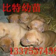 比特犬价格小比特斗狗多少钱一只图片