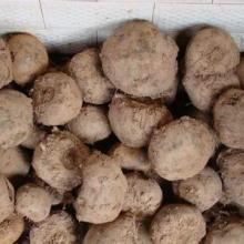 供应四川宜宾花魔芋种子