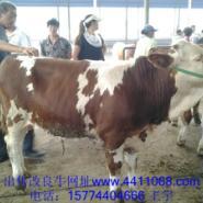 养殖架子牛图片