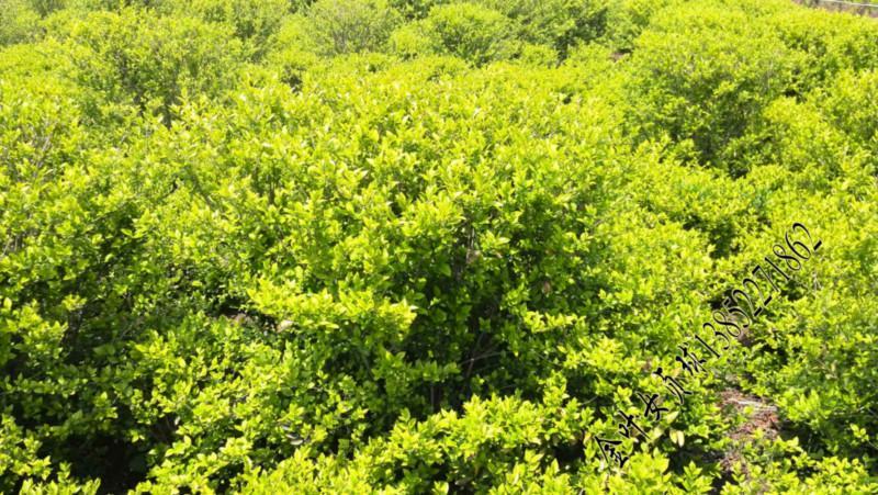 球类植物北京绿化苗木球类植物