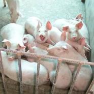 苗猪价格大约克仔猪价格图片