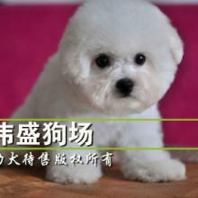 供应广州哪里有卖比熊犬图片