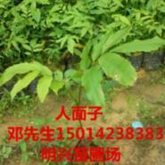 广东广州人面子开花树种图片