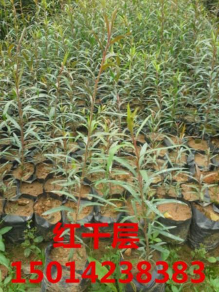 供应30公分高金丝楠批发价,南方金丝楠袋苗批发商,广东金丝楠批发价格