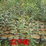 供应黎蒴苗铁冬青红千层,绿化苗供货商,造林供货苗,黎蒴小苗批发报价