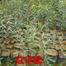 供应红花银桦苗造林树苗,30公分高紫花风铃苗,红千层树苗批发报价