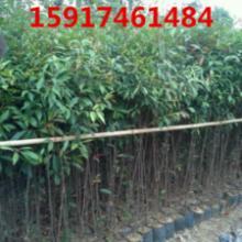 供应广东山杜英小苗,山杜英种苗出售价,山杜英苗木便宜价,山杜英供应商