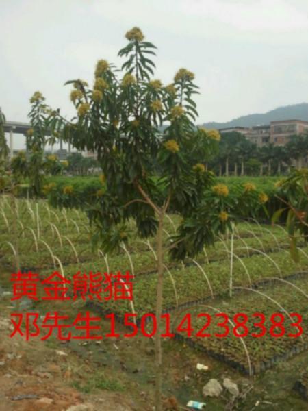 供应广东广州黄金熊猫优良树苗价格批发,黄金熊猫清货,黄金熊猫便宜价格