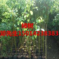 供应树菠萝苗樟树袋苗,风铃木小苗批发价钱,绿化种苗批发,造林苗批发商