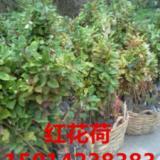 供应红苞木供货商报价,广东30公分高绿化苗批发,40公分高造林苗