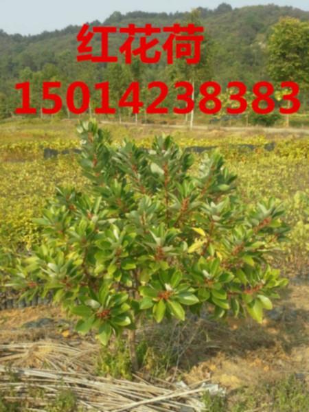供应南方黎蒴木种苗清货价,小苗最便宜报价,黎蒴种苗批发,造林苗价钱