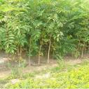 乌兰察布市苗木种植技术图片