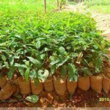 供应哪里有桉树袋苗20-50高卖、哪里的桉树最便宜、桉树袋苗怎么卖、桉树价格、