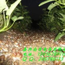 供应鲜活白玉蜗牛
