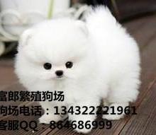 广州哪里有卖宠物狗 纯种球型博美小狗市场价格多少 广州富郎狗场图片