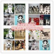 哈士奇犬3图片
