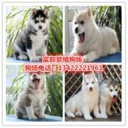 哈士奇雪橇犬犬图片
