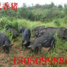 供应云南藏香猪供应