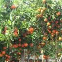 柑桔新品东方红橘苗图片