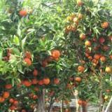 供应滆安东方红桔,滆安东方红桔苗,滆安东方红桔苗供应商