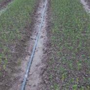 脱毒柑桔苗订育图片