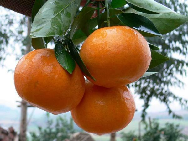 桂林沃柑苗接惠价格及图片、图库、图片大全