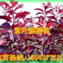 紫叶矮樱-紫叶矮樱价格图片