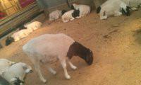 供应肉羊价格批发