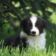纯种健康边境牧羊犬七白三通便宜图片