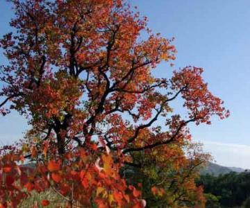 供应乌桕树种植基地价格,江苏乌桕树苗木种植基地价格图片