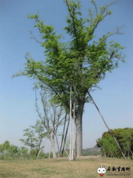 供应红榉树种植基地价格图片
